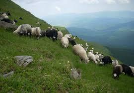сыры из овечьего молока